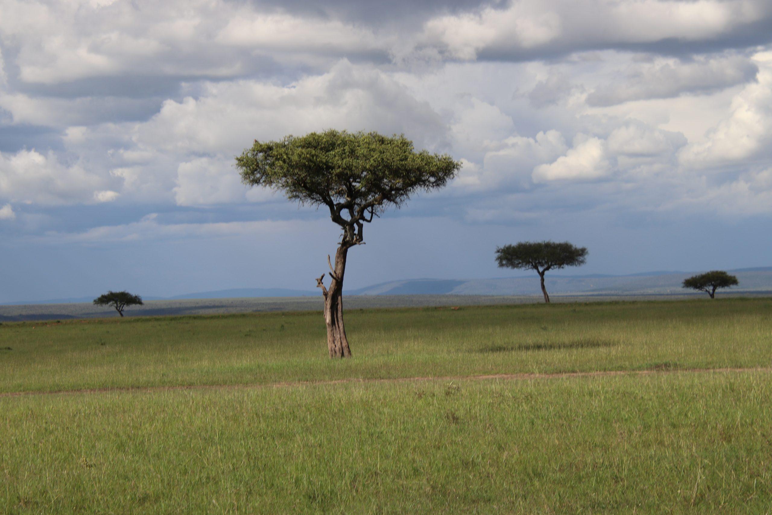 Acacia Tree in Masai Mara